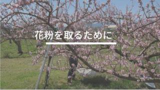 桃の花を取る