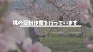 桃の受粉作業を行った