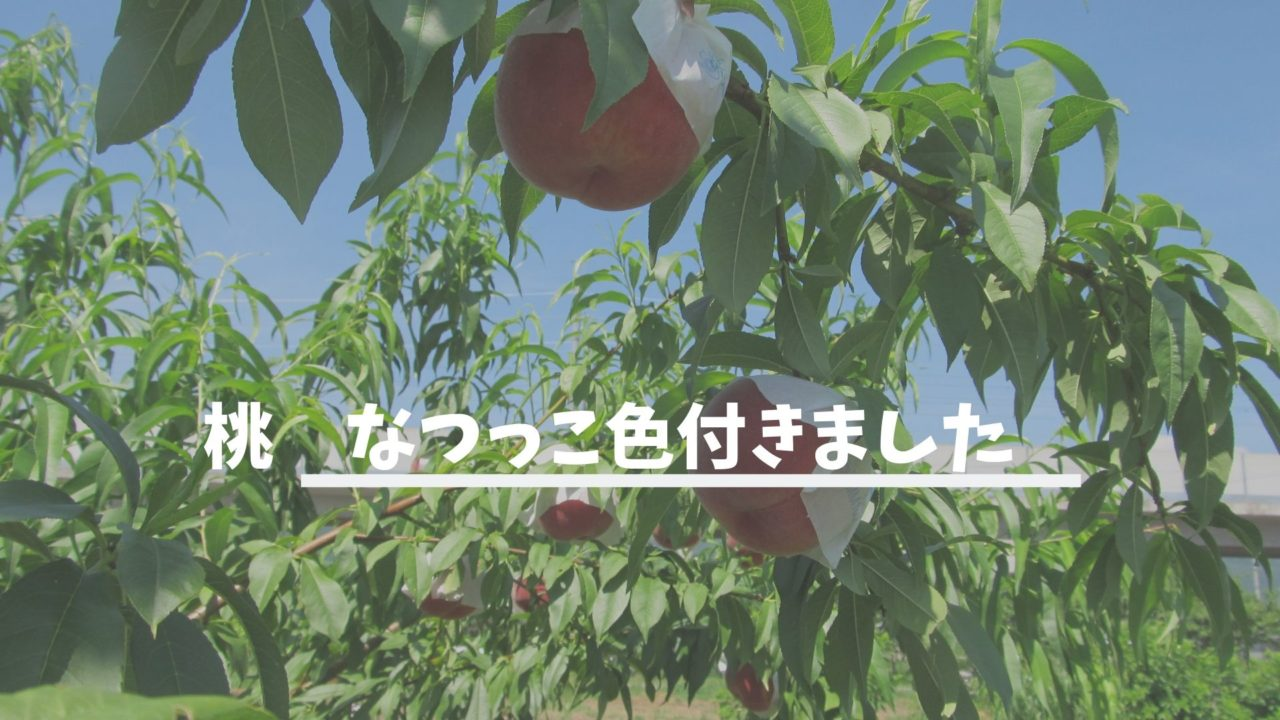 桃なつっこ収穫になるの